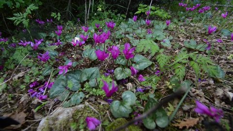 Wild cyclamen in a forest in spring. Wildflower in nature. Pink flowers blooming on mountain. Cyclamen hederifolium. Forest soil with plants
