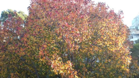 Maple tree starting to turn leaves from green to beautiful yellow red foliage as autumn