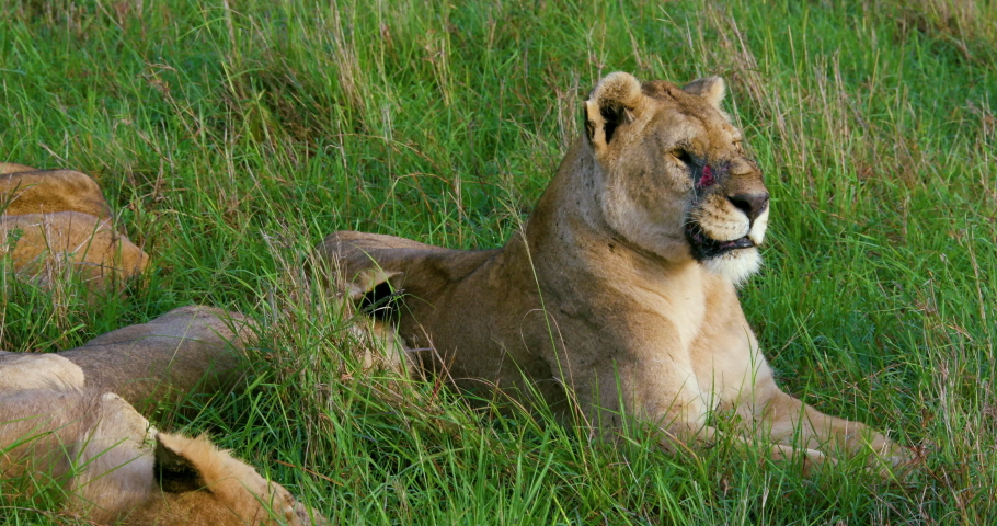 Lioness With Cut Face Sat In Grass; Maasai Mara Kenya Africa #1029543887