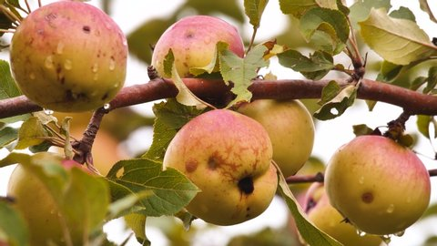 Organic apples on the apple tree hanging on a branch. Static frame. Organic food concept. Healthy food. Juicy apples with water drops hanging on the branch of apple tree. Tasty jucy fruits. Farming