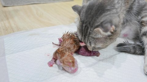 Mother cat pregnant give birth and new born baby kittens