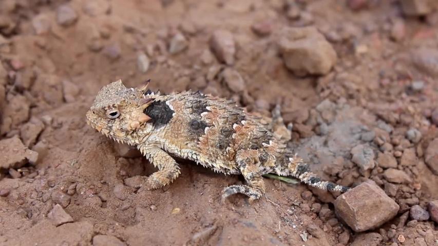 Blainville's Horned Lizard (Phrynosoma coronatum) | Shutterstock HD Video #1029745937