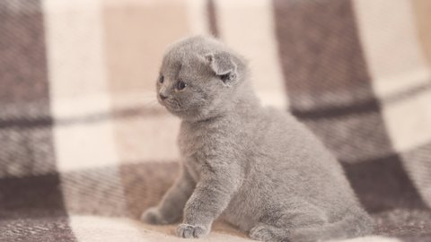 Curious adorable British Shorthair kitten looking around, close up shot