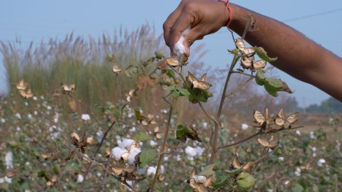HD Stock video of a farmer pulling off cotton from the bush.