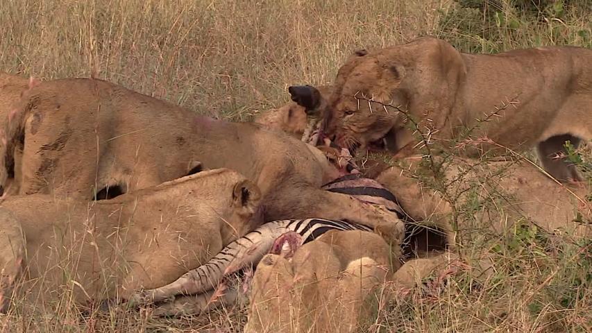 Telephoto Zoom Lions Feeding on Zebra. | Shutterstock HD Video #1030021127