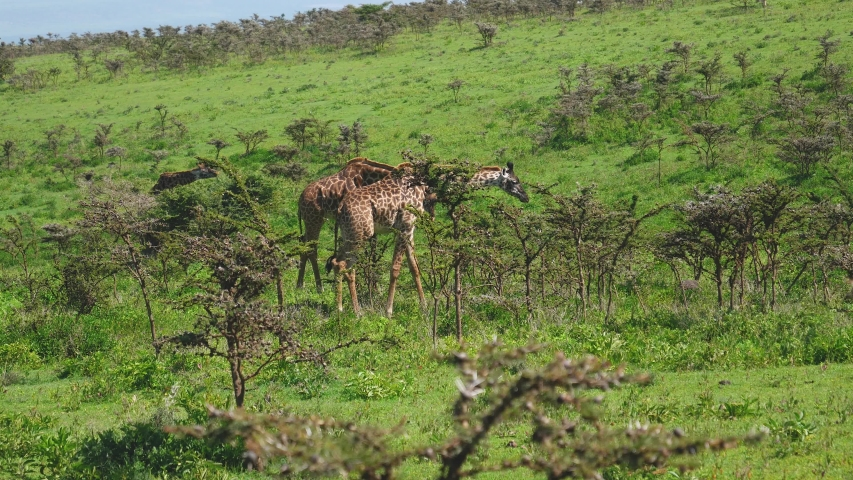 Giraffes on the hill graze leaves from bushes with thorns. In the African wildlife and rare animals reserve | Shutterstock HD Video #1030102427