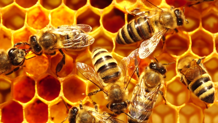 Worker bees on honeycombs macro. Honey comb with pollen, honey and nectar. Extracting Honey   Shutterstock HD Video #1030151627