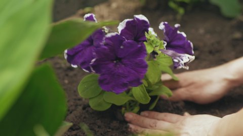 Gardener woman hands planting petunia flowers in the soil. Close-up shot, hands only, soft focus