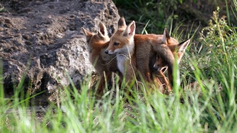 Cute red foxes cub playing near the burrow. Vulpes