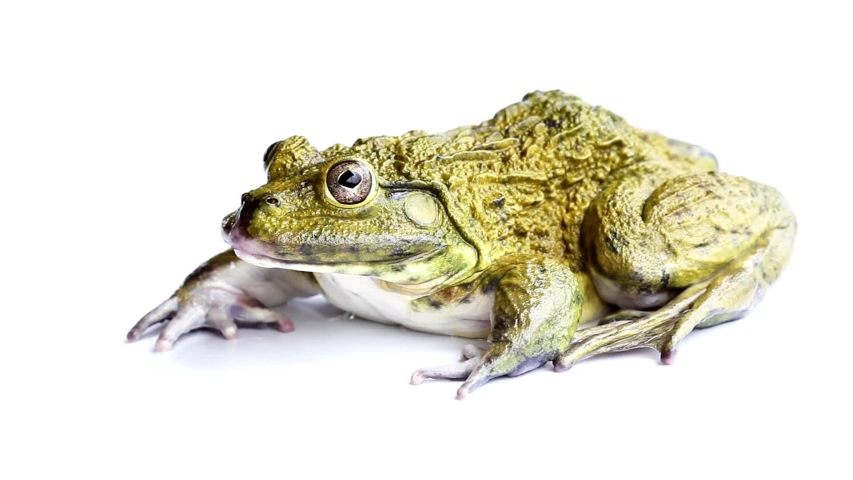 Frog jumping on a white background   Shutterstock HD Video #1030221827