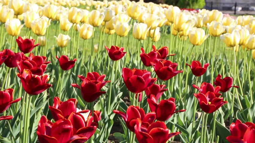 Beautiful tulips blossom in springtime. Selected focus. | Shutterstock HD Video #1030236287