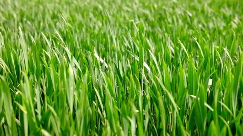 Field of beautiful springtime green rye and wheat closeup for green industry. grass sways in the wind