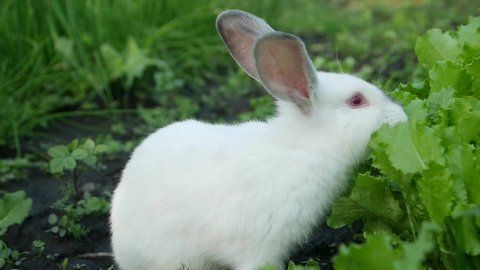 White rabbit in green grass, Calm and sweet little white rabbit sitting on green grass, cute bunny