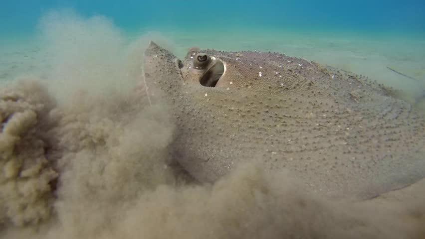 Round ribbontail ray  (Taeniura meyeni) over a sandy bottom, Red sea, Marsa Alam, Abu Dabab, Egypt    Shutterstock HD Video #10303097