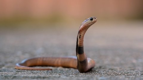 A medium-sized cobra with a thin body compared to other cobras. Though this cobra is young, it can spit an amount of venom according to its size and can be also fatal or cause blindness.