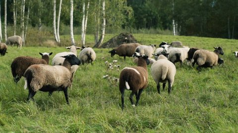 Sheep on hillside meadow grazing and looking