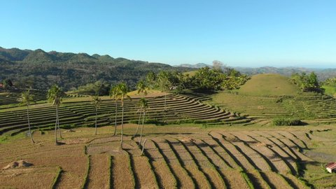 Aerial video flying across a beautiful rice terrace field tucked into the mountains with palm trees all around