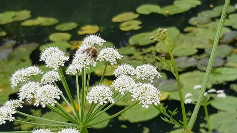 Honey Bee (worker) Apis mellifera collecting pollen from foliage on the river bank.