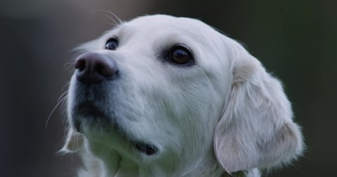 Beautiful white dog sniffing. Cute Golden Retriever. Well trained and alert waiting for treat,