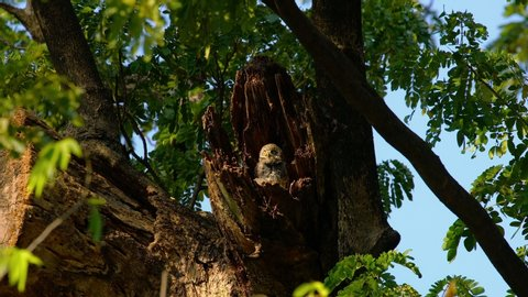 Spotted owlet , Athene brama , live in their home hollow tree nature , .