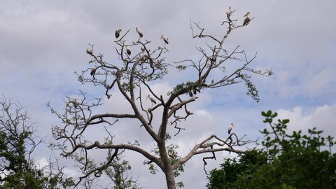 Flock of Pelicans and yellow billed Storks sitting high in the Tree. Tanzania, Africa