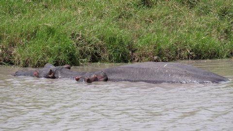 Hippo Pool Serengeti. Group of Hippopotamus with calf. Tanzania, Africa