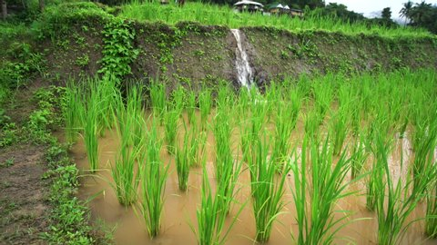 Rice seedlings in the rice field, water flow from nature to field ,at Ban Pa Bong Piang Hill tribe village, Chiangmai, Thailand..