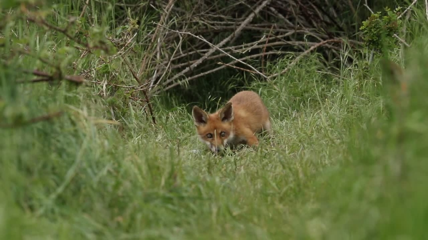 A vixen Red Fox and her cute cubs, Vulpes vulpes, are feeding at the entrance to their den. A few scuffles break out over the food. | Shutterstock HD Video #1030693637