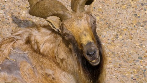 Markhor male goat looks into camera and than away.