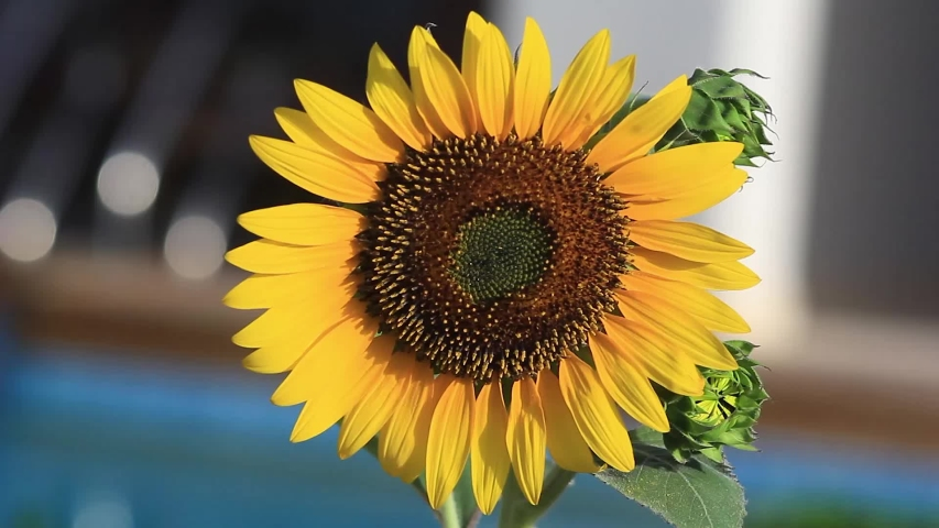 Sunflower swinging on the wind (Helianthus annuus) plant head. Yellow Sunflower Blooming Flower. Full HD 1920x1080 Video Clip