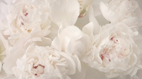 Beautiful white peony flowers bouquet opening background. Blooming roses flower open time lapse, closeup. Wedding backdrop, Valentine's Day concept. Bouquet on black backdrop, closeup 4K UHD timelapse