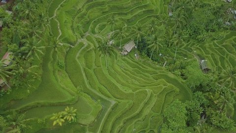 Paddy rice field aerial landscape. Drone view terraced rice field in Sapa, Vietnam. Agricultural and grain industry. Farming concept