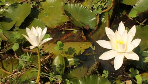 Water Lilly (Nymphaeaceae, water lilies, lily) blooming in pond.