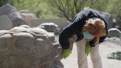 Zookeeper pets the neck and pats the head of giant brown Aldabra Tortoise reptile as it looks pleased.
