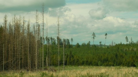 Spruce forests infested drought and attacked by the European spruce bark beetle pest Ips typographus, clear cut calamity caused by bark beetle due to global warming, influence of emissions, dry