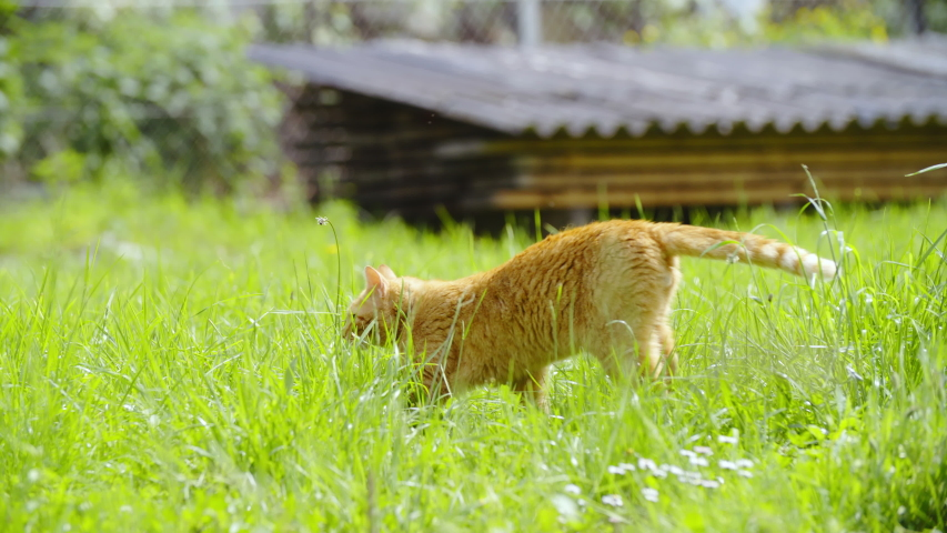 Ginger cat slow walk over green lawn 4K | Shutterstock HD Video #1031108567