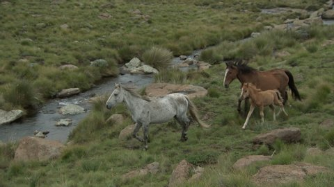 Two horses and a foal running by a stream in the Drakensberg