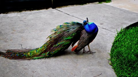 Peacock is cleaning its feather during day in park.