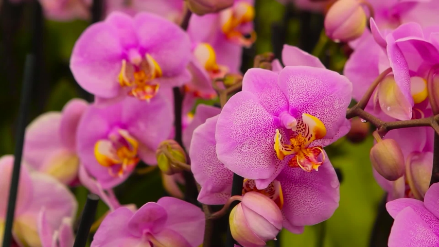 Closeup of a blooming orchid. Blooming orchid close up. Orchid flower close up, beautiful orchid close up