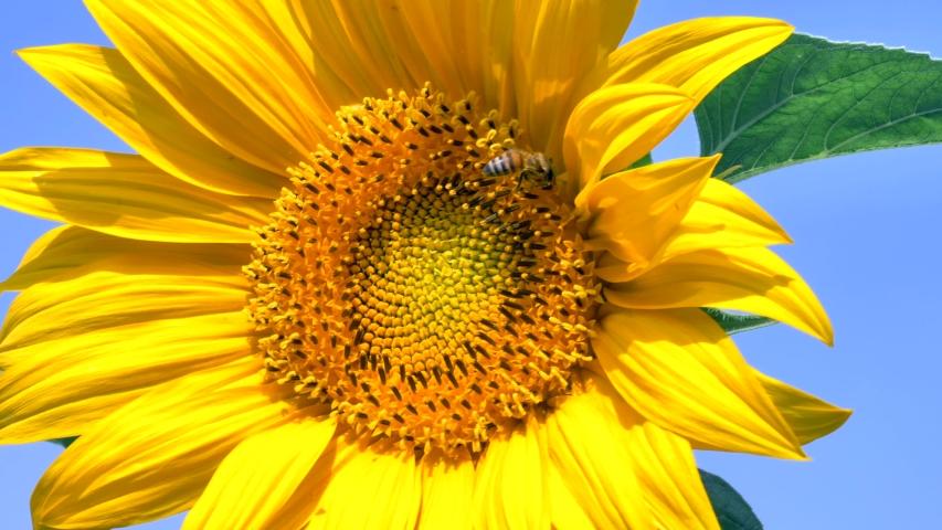 Bee collecting Sunflower Pollen, Closeup footage. | Shutterstock HD Video #1031520857