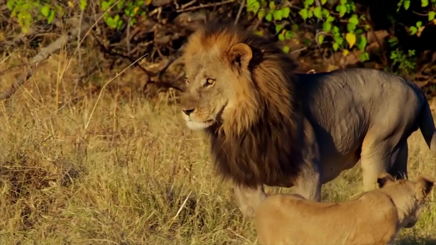 Epic African Lion Attacks Another Lion  | Shutterstock HD Video #1031656277
