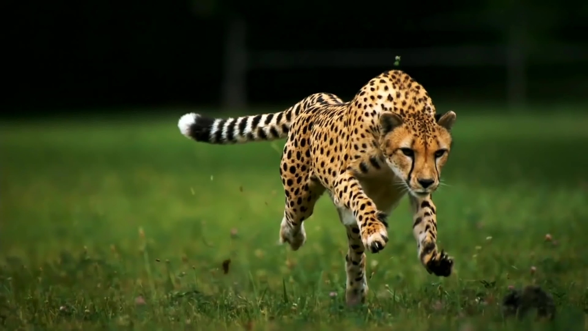 Cheetah Running Super Slow Motion Front View