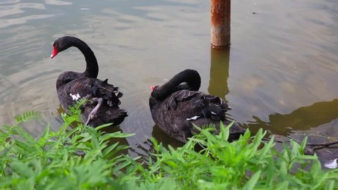 Two black swans at the water's edge. Black swans swim together. Black swans preen their feathers