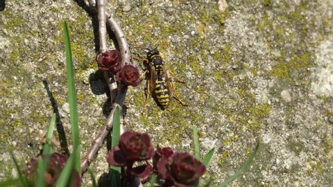 A Saxon wasp warming up in the spring sun on an old concrete wall in the garden, some stonecrop is growing in front of it