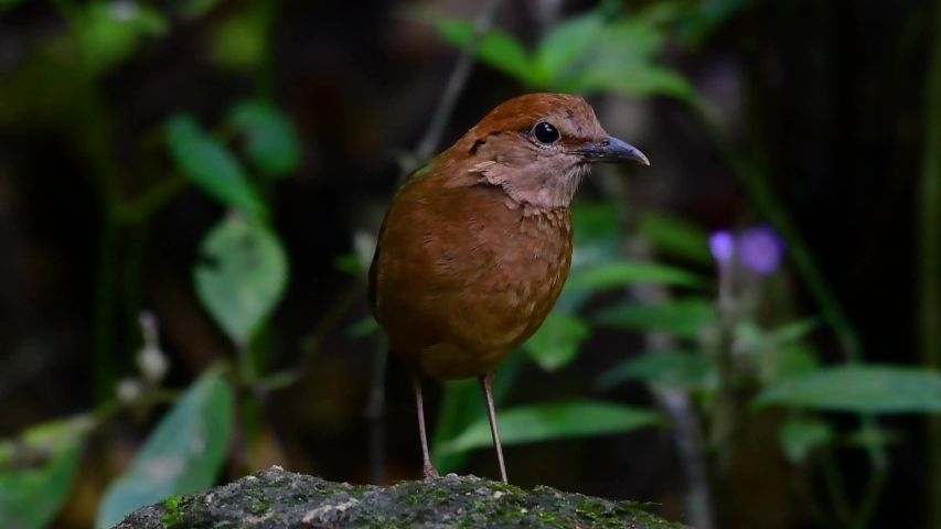 The Rusty-naped Pitta is a confiding bird found in high elevation mountain forests habitats, there are so many locations in Thailand to find this bird; it is famous for its rusty nape. | Shutterstock HD Video #1032571607
