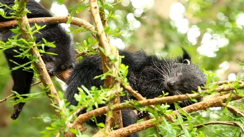 Binturong  sleeping  on the tree in Chiangmai Thailand