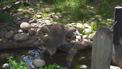 Raccoons Washing in Nature Park