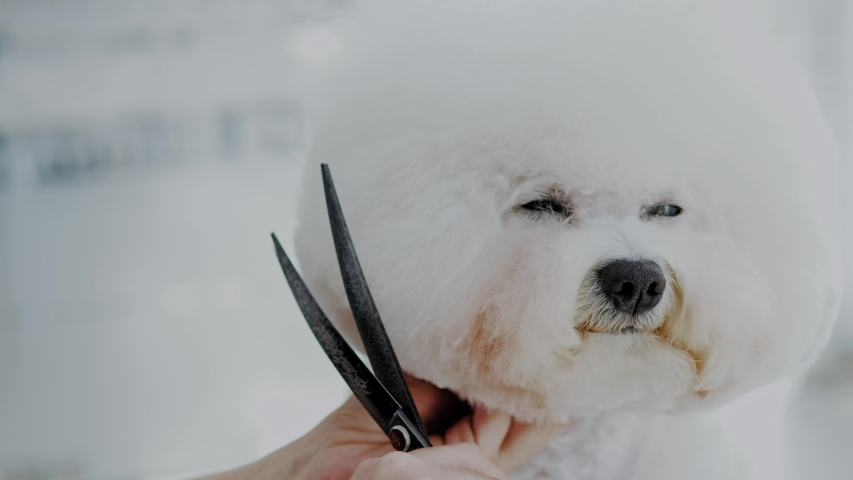 Bichon Fries at a dog grooming salon | Shutterstock HD Video #1033114757