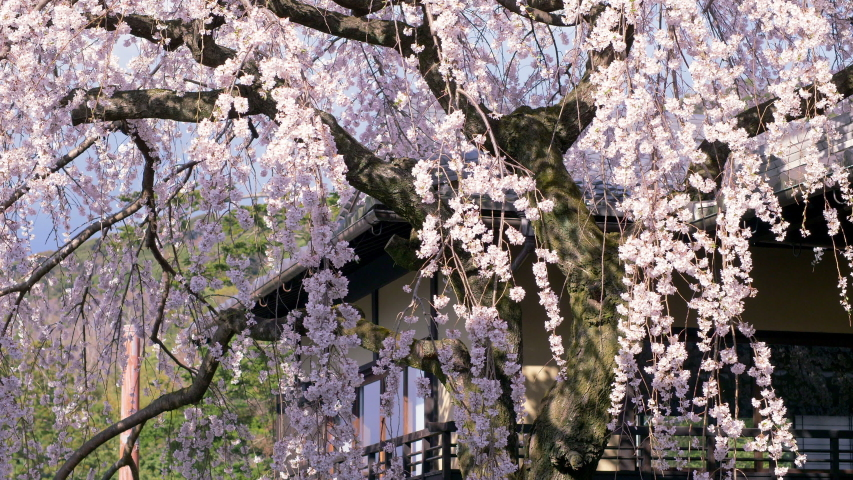 Closeup view of Higan cherry tree blossom at some Kyoto street, Japan.   Shutterstock HD Video #1033222757