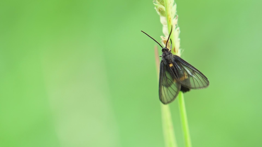 A small black butterfly on the grass top in board day light in summer after rainy time, natural concept on slow motion footage with frame rate 180 fps. | Shutterstock HD Video #1033252157